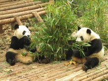 13 - Chengdu - Giant panda breeding center