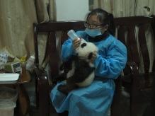 15 - Chengdu - Giant panda breeding center