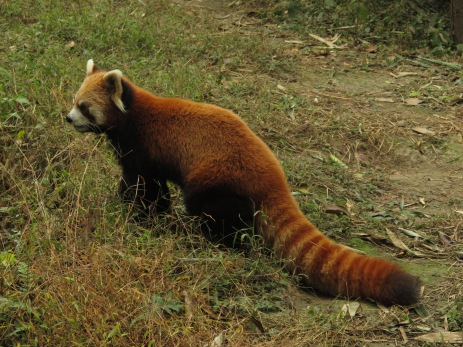 17 - Chengdu - Giant panda breeding center - red panda
