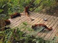 18 - Chengdu - Giant panda breeding center - red panda