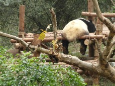 21 - Chengdu - Giant panda breeding center