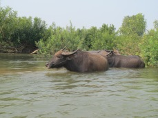 04-Don Det-kayaking on the Mekong with water buffalos!