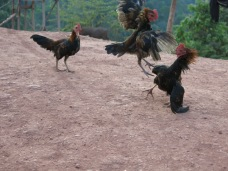 44-Luang Namtha-trekking in the jungle, village, roosters fight!