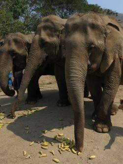 09 - Chiang Mai - Elephant nature park