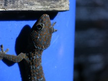 Perhentian islands - night geckos