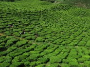 Cameron Highlands - tea plantations